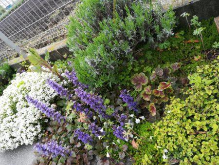 アジュガと植栽