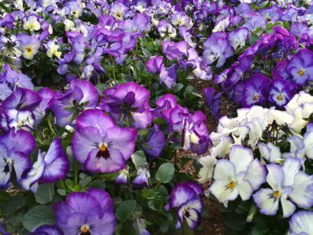 紫パンジー