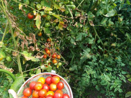 たくさんトマト