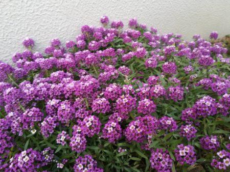 アリッサム紫