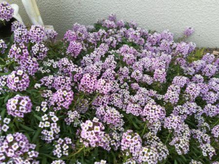 アリッサム薄紫